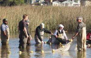 Seining the Carmel River Lagoon in 2010